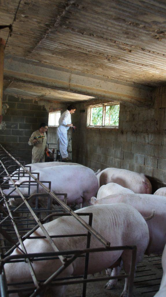 Explotació porcina a Cabanes