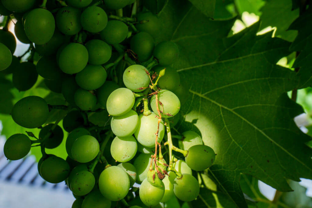 VEEMA vegetal system grapes reducir la contaminacion electromagnetica
