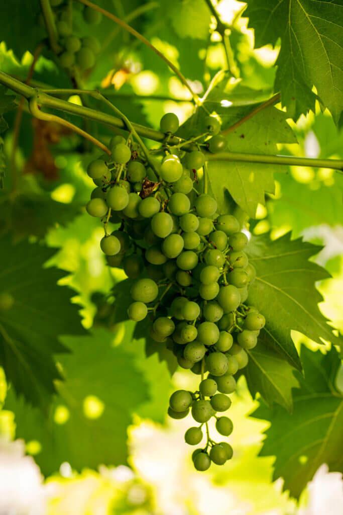 vinedo VEEMA vegetal system reducir contaminacion electromagnetica